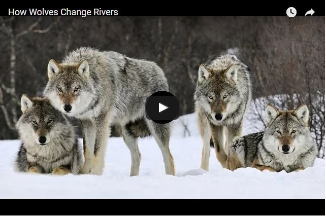 AMAZING VIDEO! - How Wolves Transformed Yellowstone Park!