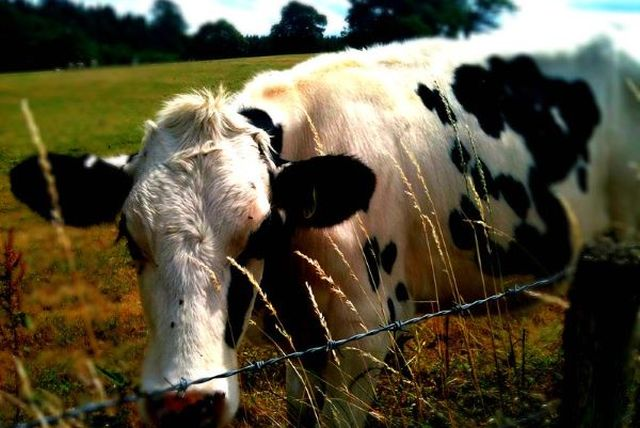 Cow in a field close up