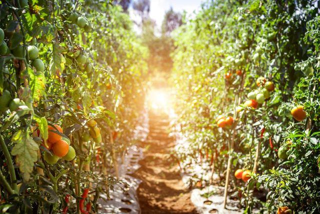 Tomato plants growing at an organic farm